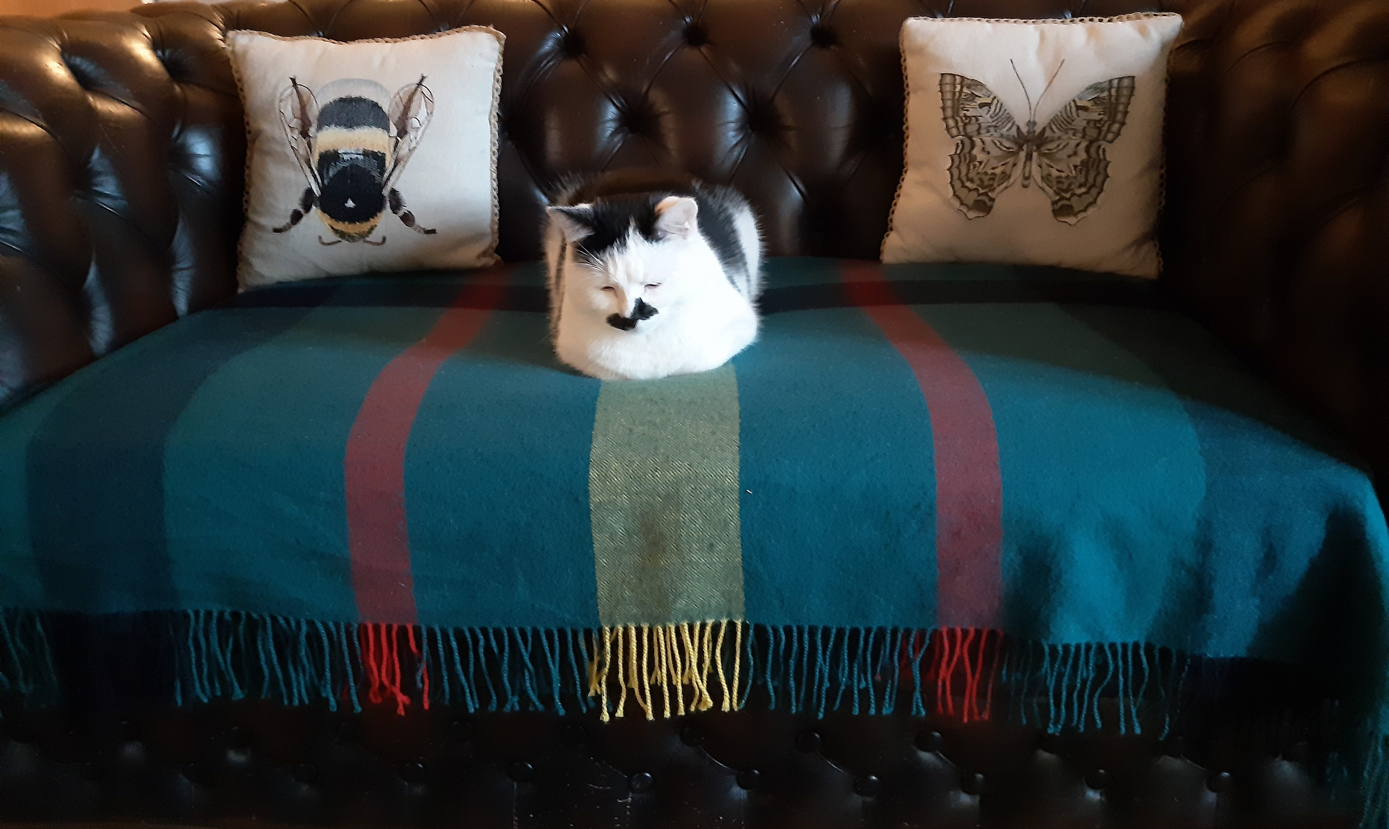 Bertie on blanket on sofa