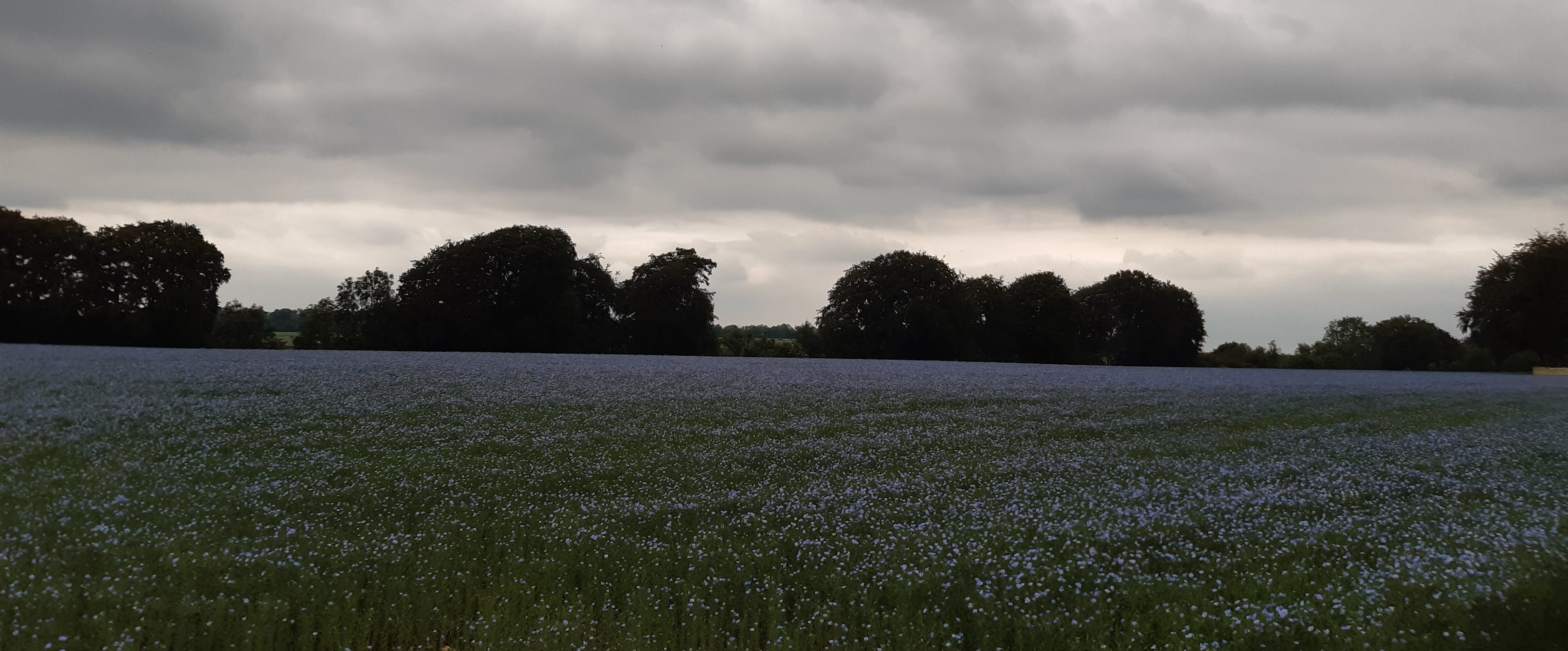 photo of flax field from afar